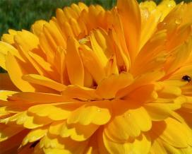 Bunga calendula akan berfungsi sebagai barometer hidup untuk Anda: sebelum hujan, mereka menutup. Dan bunga kering marigold akan membantu Anda mengatasi ...